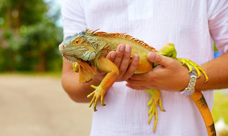 Iguana Taming and Handling
