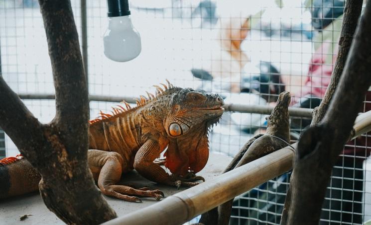 Iguanas Cage and Habitat