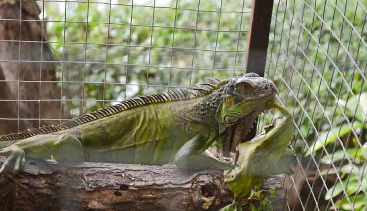 best cage for baby iguana