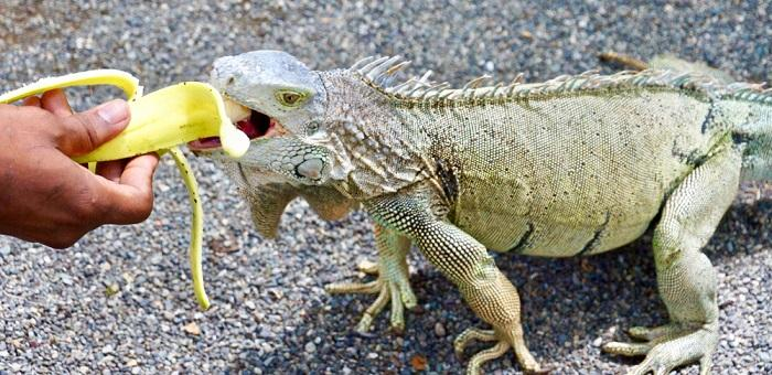 food-and-diet-for-red-blue-green-iguana