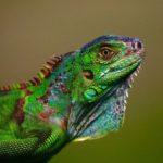 Green Iguanas - Iguana Iguana