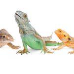 Iguana Vs Chameleon Vs Lizard