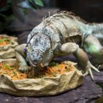 Best Iguana Supplement Vitamins
